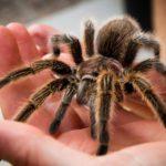 Во Французской Гвиане задержали авиапассажира с тарантулами